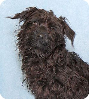 Chihuahua/Yorkie, Yorkshire Terrier Mix Dog for adoption in Encinitas, California - Packard