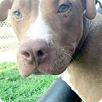 Pit Bull Terrier Dog for adoption in Manteca, California - Delilah