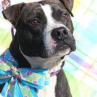 Adopt A Pet :: Beckham - Gilbertsville, PA