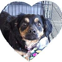 Adopt A Pet :: Penny - Las Vegas, NV