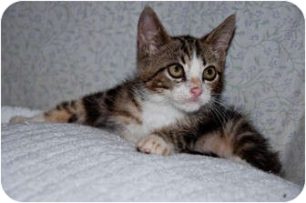 Domestic Mediumhair Kitten for adoption in New Egypt, New Jersey - Boots