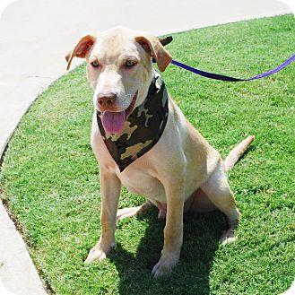 Labrador Retriever Mix Dog for adoption in White Settlement, Texas - Max-Adoption Pending