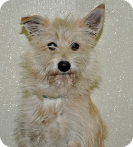 Terrier (Unknown Type, Small) Mix Dog for adoption in Port Washington, New York - Kipper