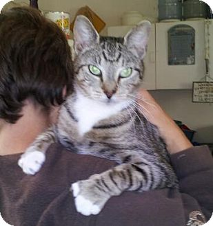 American Shorthair Cat for adoption in Daleville, Alabama - Asia