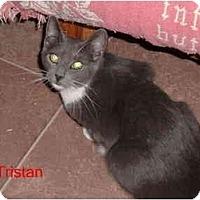 Adopt A Pet :: Tristan - Albany, NY