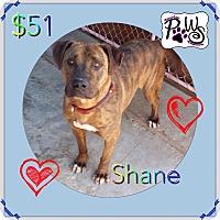 Adopt A Pet :: Shane - Fowler, CA