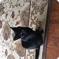 Adopt A Pet :: Boo  Lap Kitty - Sterling Hgts, MI