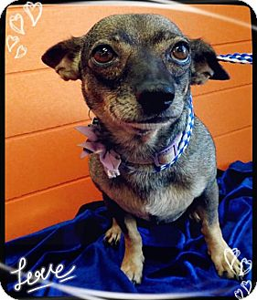 Chihuahua Mix Dog for adoption in Pipe Creek, Texas - Maggie Mae