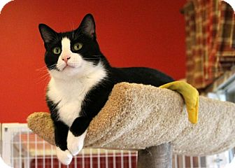 Domestic Shorthair Cat for adoption in Gaithersburg, Maryland - Shadow