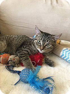Domestic Shorthair Kitten for adoption in Los Angeles, California - Krystal