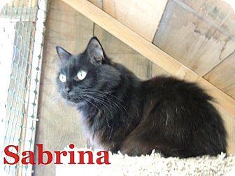 Domestic Longhair Cat for adoption in Waynesville, North Carolina - Sabrina