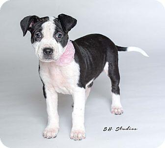 Labrador Retriever/American Bulldog Mix Puppy for adoption in Houston, Texas - Stormy