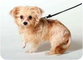 Yorkie, Yorkshire Terrier/Maltese Mix Puppy for adoption in West Palm Beach, Florida - Luna