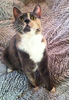 Calico Cat for adoption in Burbank, California - Emmy