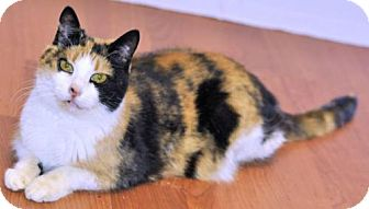 Calico Cat for adoption in Bowling Green, Virginia - Ginny