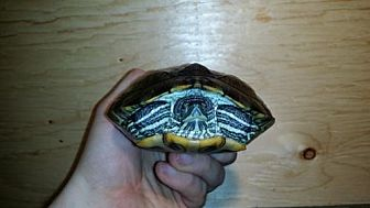 Turtle - Other for adoption in Pefferlaw, Ontario - Melanie
