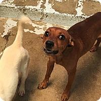Adopt A Pet :: Bob - El Centro, CA