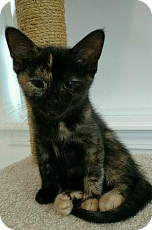 Domestic Mediumhair Kitten for adoption in Westland, Michigan - Pebbles