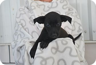 Labrador Retriever Mix Puppy for adoption in Saddle Brook, New Jersey - Shelly