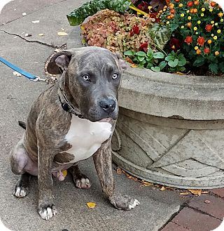 Pit Bull Terrier Mix Dog for adoption in Kalamazoo, Michigan - Remy - Brenda