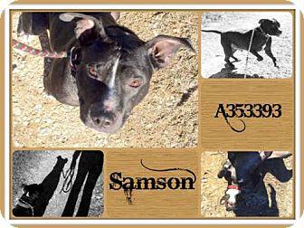 Pit Bull Terrier Dog for adoption in San Antonio, Texas - SAMSON