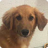 Adopt A Pet :: Muffy - Brattleboro, VT
