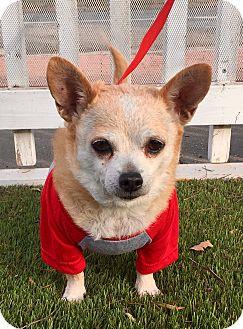 Dachshund/Chihuahua Mix Dog for adoption in Santa Ana, California - Mimi (BH)