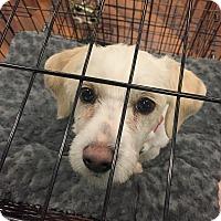 Adopt A Pet :: Ceecee - Manassas, VA