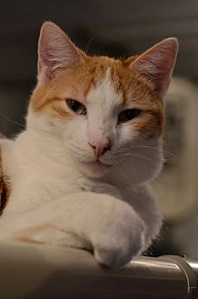 Domestic Shorthair Cat for adoption in Geneseo, Illinois - Sketcher