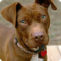 Adopt A Pet :: Sugar - Greenville, SC