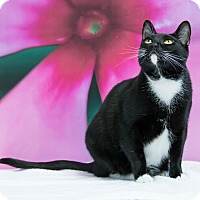 Domestic Shorthair Cat for adoption in Houston, Texas - Pieper