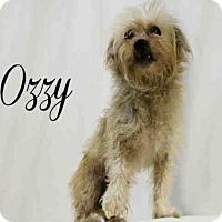 Adopt A Pet :: *OZZY - Sugar Land, TX