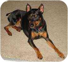 Miniature Pinscher Dog for adoption in Florissant, Missouri - Emmitt