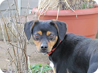 Beagle/Feist Mix Dog for adoption in Humboldt, Tennessee - CHIPPER