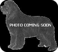 Newfoundland Dog for adoption in NATIONWIDE, Ohio - Newf