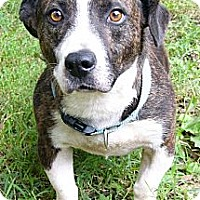 Adopt A Pet :: Big Man - Mocksville, NC