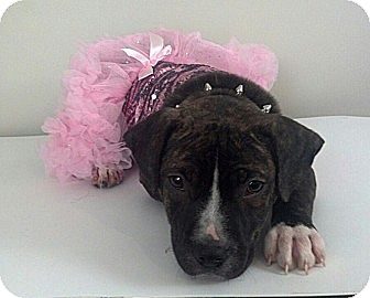 American Pit Bull Terrier Mix Dog for adoption in nashville, Tennessee - Violette
