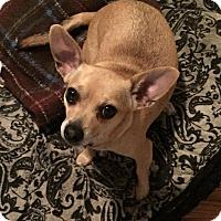 Adopt A Pet :: Sugar Baby - Houston, TX