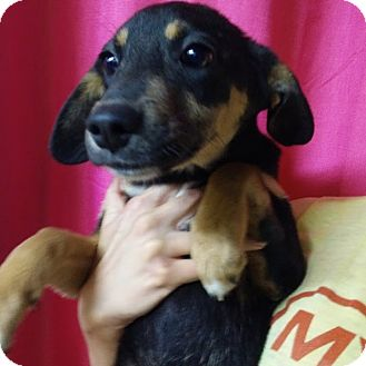 Dachshund Mix Puppy for adoption in Pompton Lakes, New Jersey - Hope