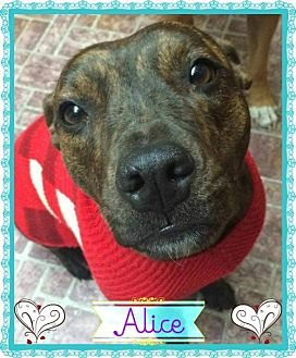 Pit Bull Terrier/Terrier (Unknown Type, Medium) Mix Dog for adoption in Kenmore, New York - Alice