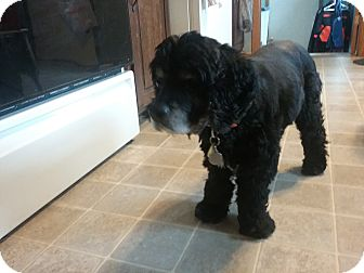 Cocker Spaniel Dog for adoption in Muskegon, Michigan - Coral