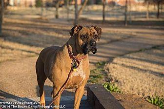 Boxer/Mastiff Mix Dog for adoption in Hurst, Texas - Zsa Zsa