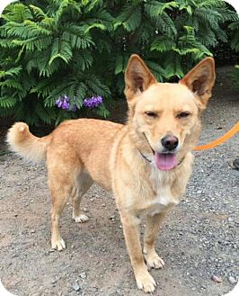 Finnish Spitz/Australian Kelpie Mix Dog for adoption in Penngrove, California - Josie