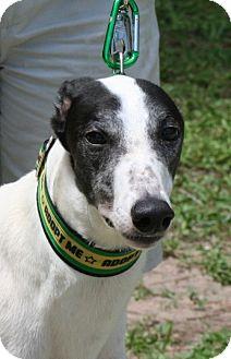 Greyhound Dog for adoption in West Palm Beach, Florida - Rourke