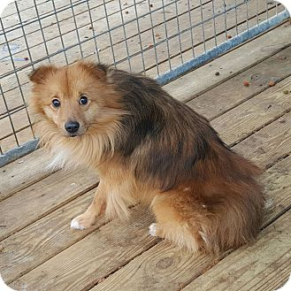 Sheltie, Shetland Sheepdog/Pomeranian Mix Dog for adoption in Strattanville, Pennsylvania - CORBETT
