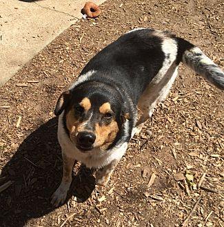 Beagle/Shepherd (Unknown Type) Mix Dog for adoption in Acworth, Georgia - Butler