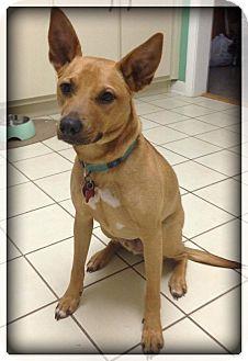 Australian Cattle Dog/German Shepherd Dog Mix Dog for adoption in Navarre, Florida - Tuna