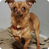 Chihuahua Dog for adoption in Lexington, Kentucky - Paco