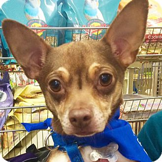 Chihuahua Dog for adoption in Fairfax, Virginia - Fred *Adopt or Foster*