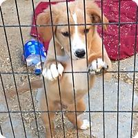 Adopt A Pet :: Hadley - Thousand Oaks, CA